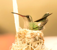 Broad-billed Hummingbird on nest