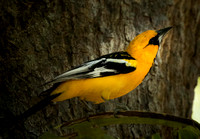 Streaked-backed Oriole